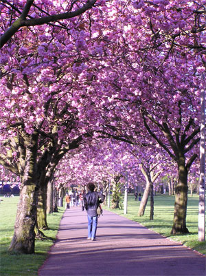 Cherry lined walk across the Meadows
